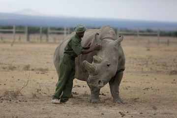 Scientists create hybrid embryos to save white rhinos