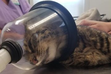 Cat seriously injured by firecracker stuffed in rectum