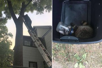 Firefighters save raccoon from mayonnaise jar