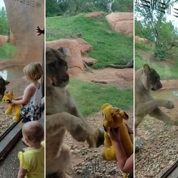 Lioness follows girl's Simba toy through the glass at the zoo