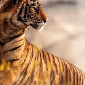 A tribe in India just sent us this letter about tigers